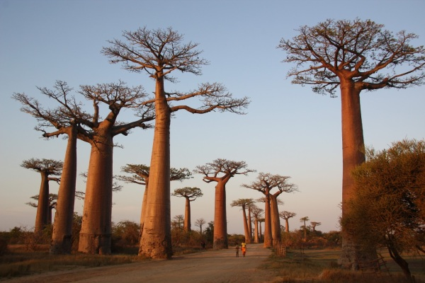 Avenue of the Baobabs, Madagascar (1)
